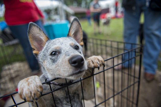 Wallie, a 14 week blue heeler, waits to be petted by people attending an April PAWS for the Cause event. File Photo by Jonathan Phillips